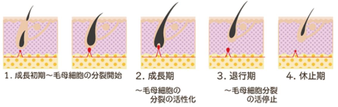 毛周期(ヘアサイクル)